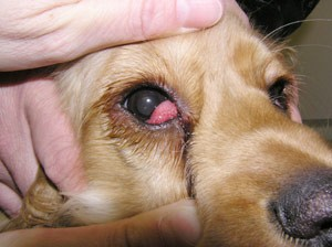 Dog S Eye Cloudy After Scratch