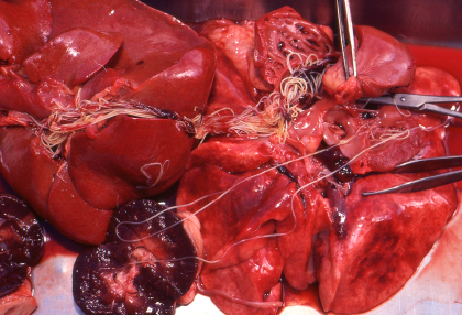 Can Dog Be Treated From Heartworms