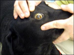 How To Treat Jaundice In Dogs