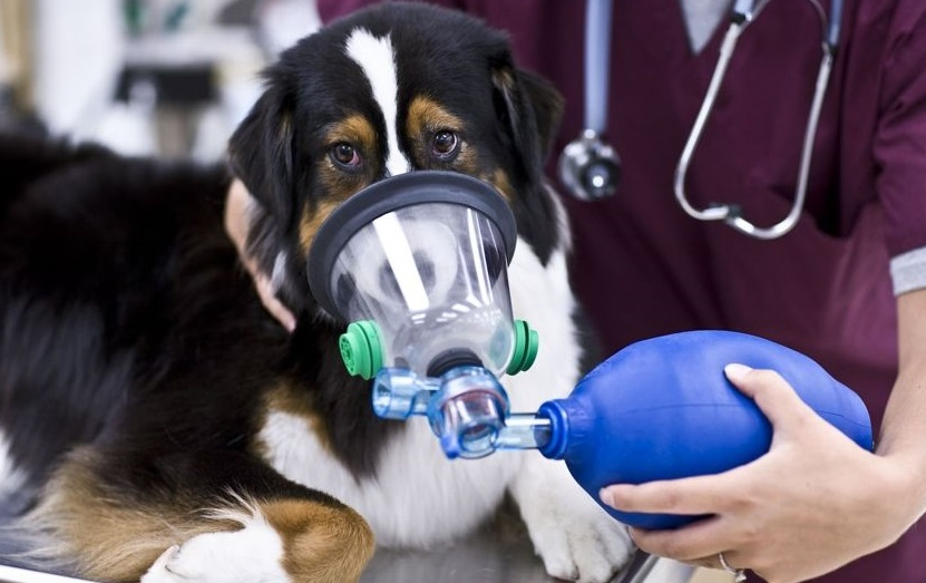 Cough In A Small Dog