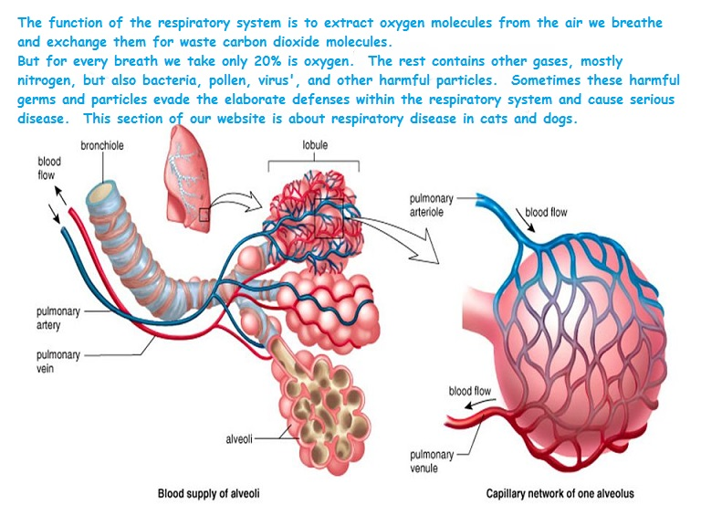 respiration system of animal Comparative physiology of the respiratory system in the animal kingdom the open biology journal, 2011, volume 4 37 basal lamina of epithelial sheets by groups of strands.