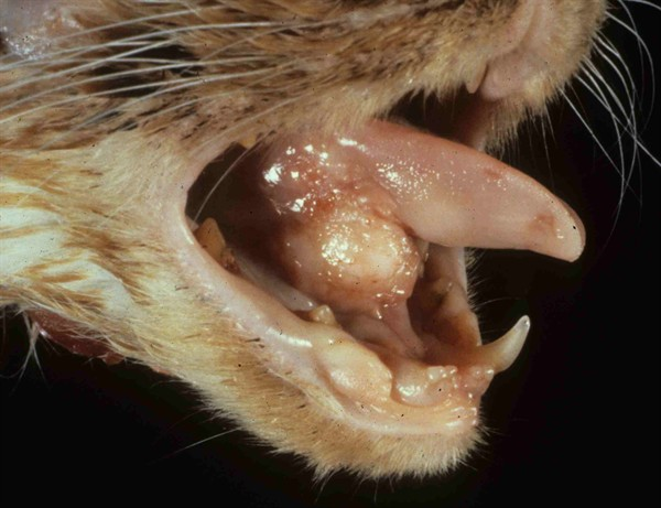 feline oral squamous cell carcinoma