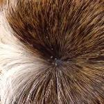 Lice is quite common in guinea pigs and easily identified and treated by your local vet.