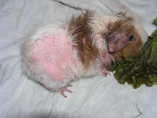 Bedding For Hamsters guineapigs