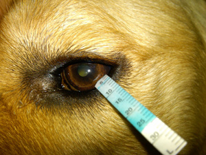 Bacterial Corneal Diseases In Dogs And Cats