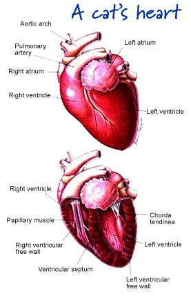 diagram of a bladder heart3  heart3
